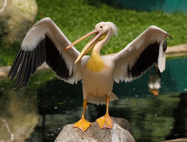 Розовый пеликан - один из исчезающих видов птиц