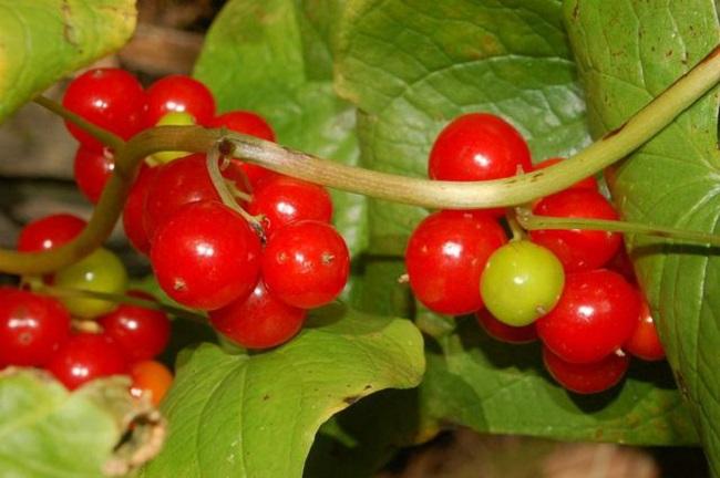 Адамов корень - целебное растение, используемое в фармокологии