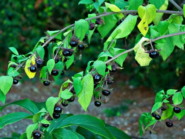 Белладона - одно из самых ядовитых многолетних растений Кавказа