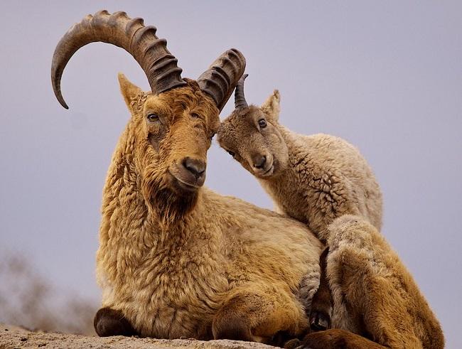 Кавказский тур - животное занесенное в Красную книгу