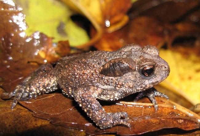 Одним из видов земноводных, занесенных в Красную Книгу является кавказская жаба