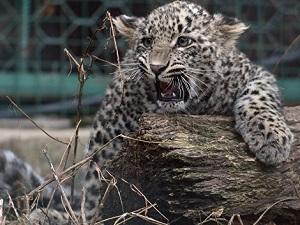 В Осетии обнаружен леопард из Красной Книги