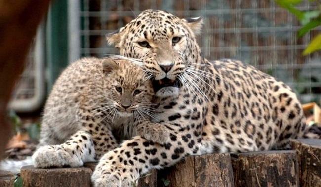 Переднеазиатский леопард из Красной Книги Кавказа до недавних пор считали исчезнувшим видом в дикой природе