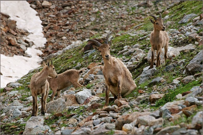 Самки горного козла внешне отличаются от самцов