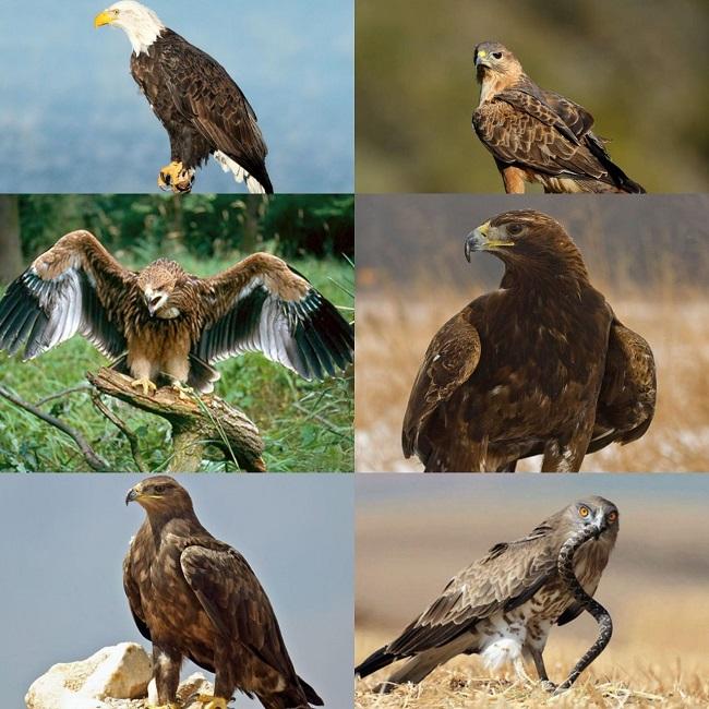 Многие хищные птицы Дагестана занесены в Красную книгу
