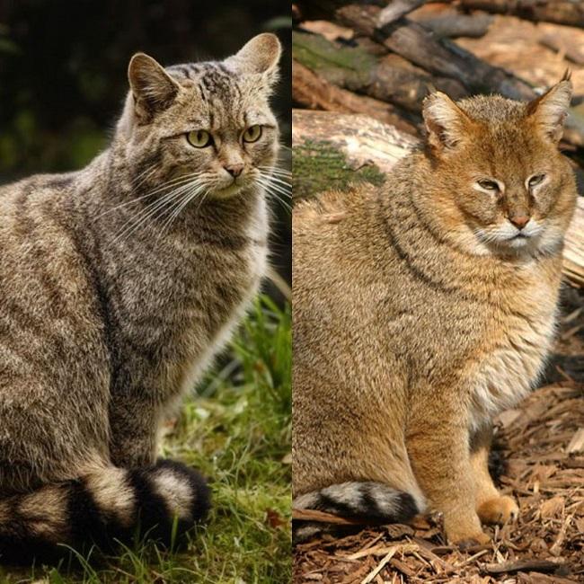 Кавказская лесная и камышовая кошка относятся к редким животным Дагестана