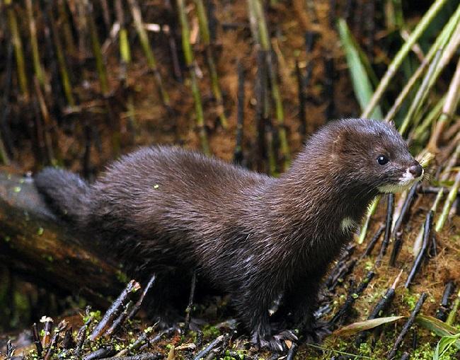 К числу, охраняемых животных на территории РД относится и европейская норка