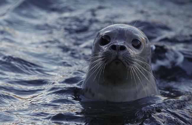 В водах Каспия живут тюлени