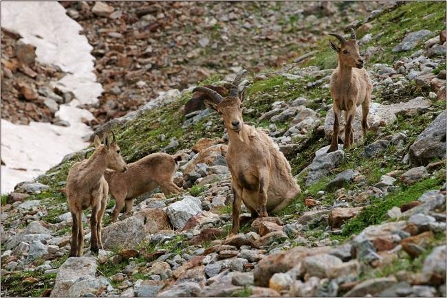 Горная коза- как называется коза с небольшими загнутыми на концах рогами на отвесных скалах и название ее обработанной шкуры