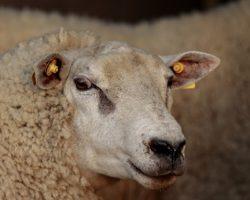 Группа «Дамате» модернизирует «Кавказ-мясо»
