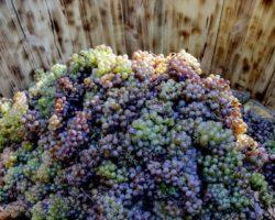 Югоосетинский производитель вина приобрел виноград у местных фермеров