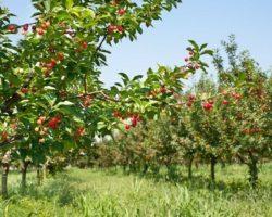 «АлмавитФрут» нацелена  увеличить площадь черешневого сада в РИ