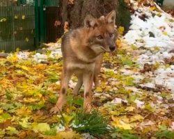 В КЧР открыт питомник для волков