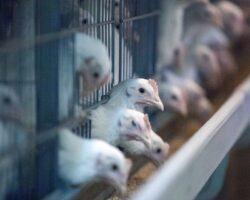 В СКФО запустят бизнес-проект в сегменте переработки продуктов птицеводства