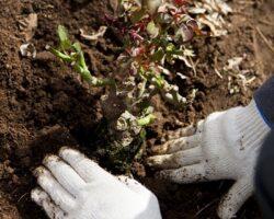 Более сотни новых деревьев посадят в Цхинвале