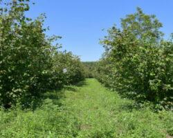 Минсельхоз Абхазии спасает ореховые насаждения от мраморного клопа