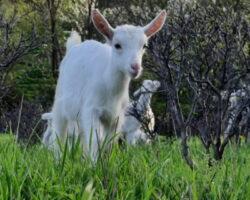 Осетинский предприниматель развивает проект по разведение швейцарских коз